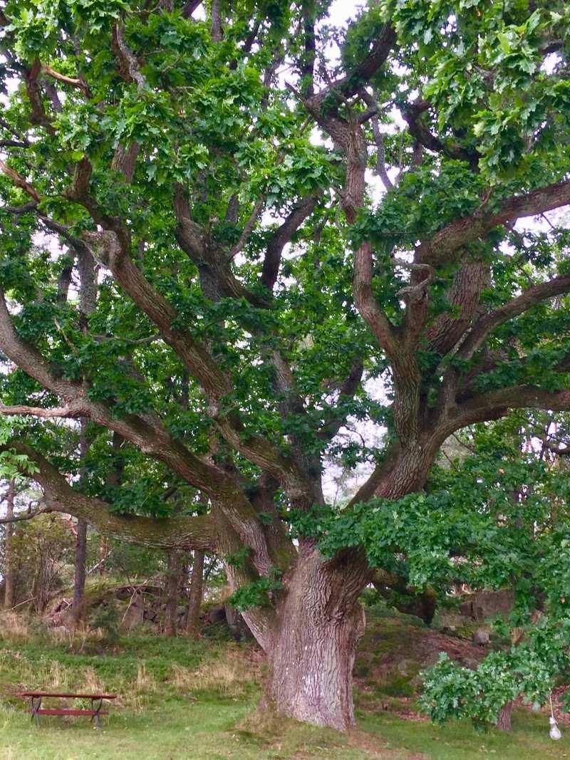 Den gamla eken på Alfons gård